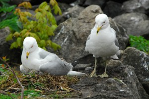 Gulls on Nest