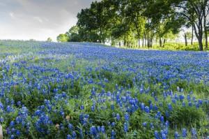 Blue Bonnet Hill