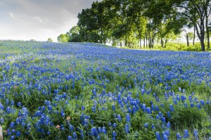 Blue Bonnet Hill