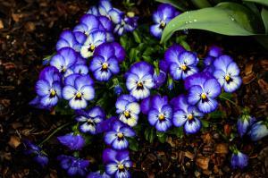 Pansy - purple