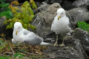 Gulls on Nest